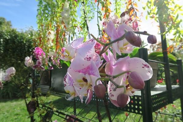 駐紐約辦事處連7年與皇后區植物園合辦台灣蘭花展。