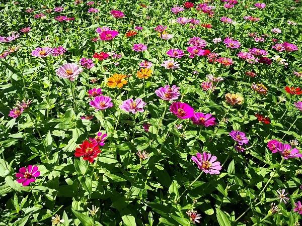 Fields of flowers to bloom on Taipei's Guandu plain in November