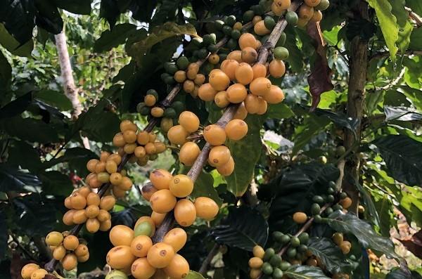 豐產之黃波旁咖啡品種。(魚池分場提供)