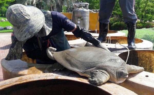 AnAsian giant softshell turtle. (Taichung City Government photo)