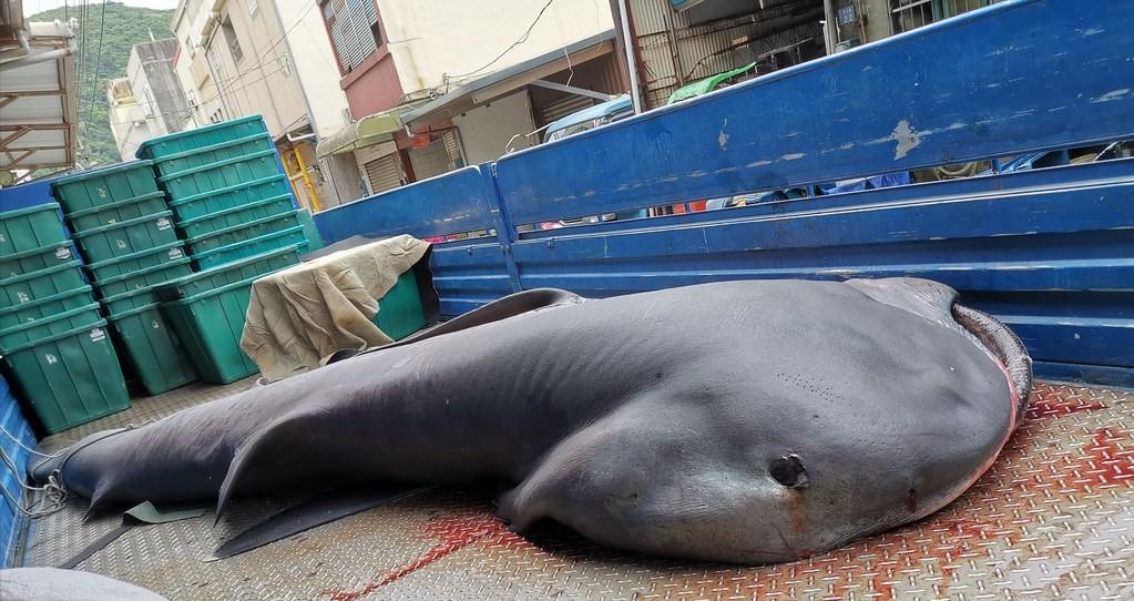 Megamouth shark caught off coast of eastern Taiwan. (Fisheries Agency photo)