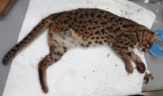 Leopard cat escapes from Taipei Zoo