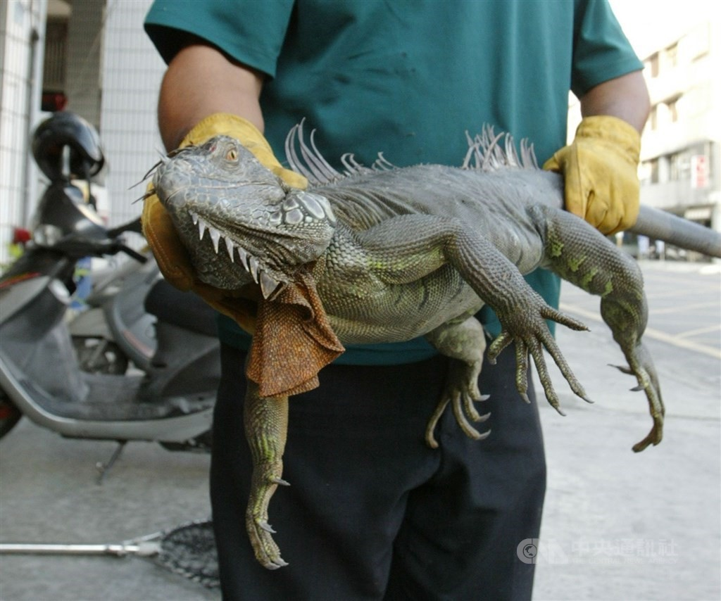 Health experts do not recommend eating iguanas, but the practice is not illegal.