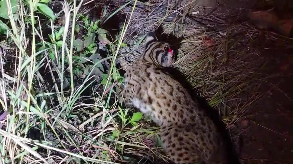 A young leopard catsurvived an alleged traffic accident in Nantou