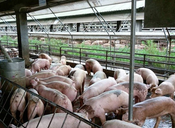 One of Taiwan Sugar Corporation's pig farms in Taiwan (Taiwan Sugar Corporation photo)