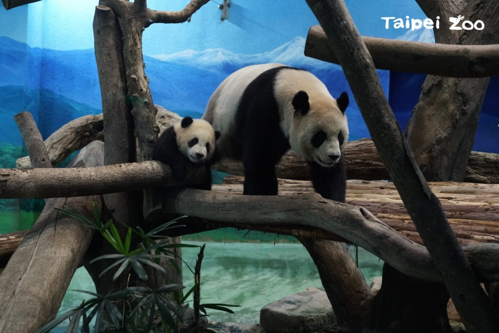 Yuan Bao (left) makes first public appearance with mother Yuan Yuan on Dec. 29 (Taipei Zoo photo)
