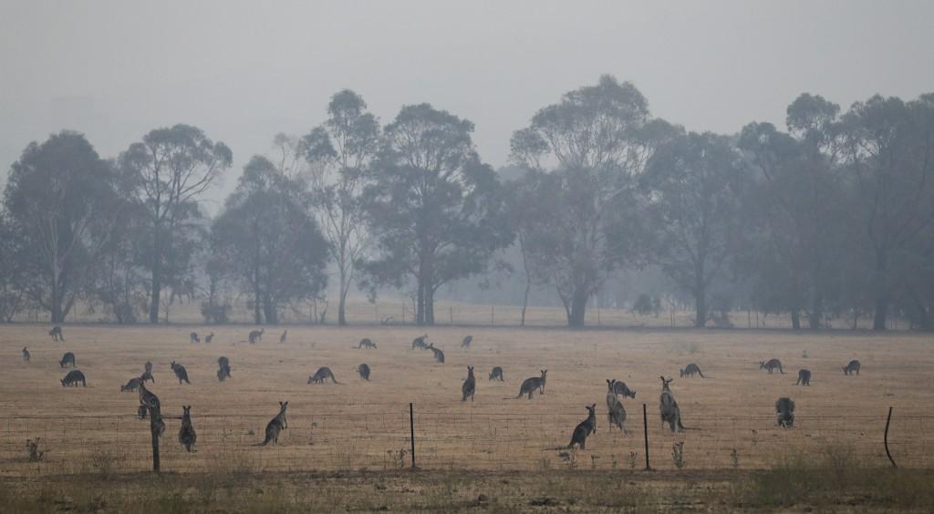 Kangaroos graze in a field as smoke shrouds the Australian capital of Canberra, Australia, Wednesday, Jan. 1, 2020. Australia deployed military ships ...