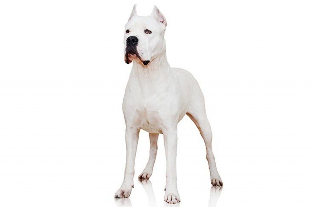 In this undated photo provided by the Westminster Kennel Club is a dogo Argentino. The powerful Argentinian big-game hunter has made the American Kenn...