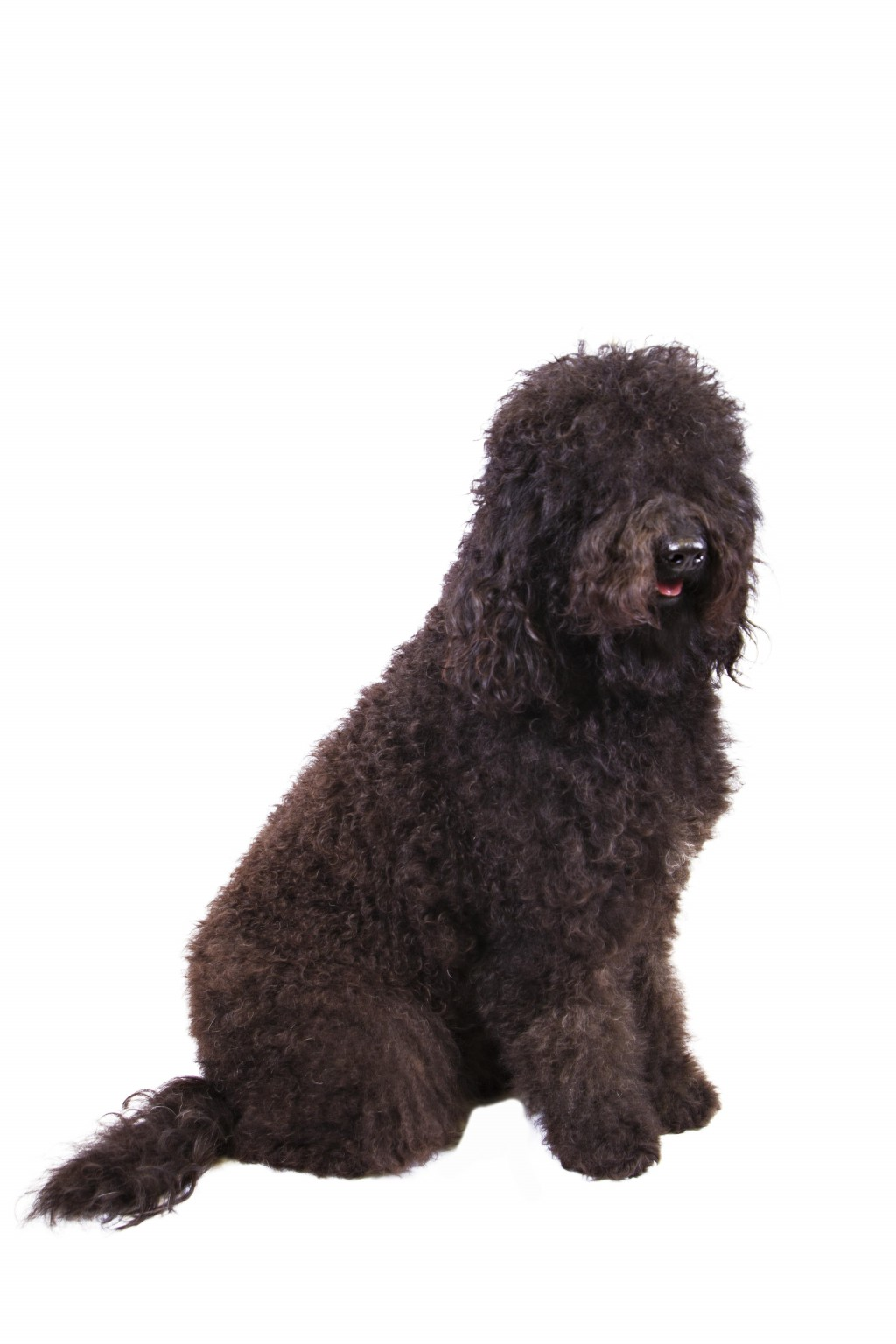 In this Dec. 13, 2013 photo provided by the Westminster Kennel Club is a barbet. The sociable French water dog has made the American Kennel Club's lis...