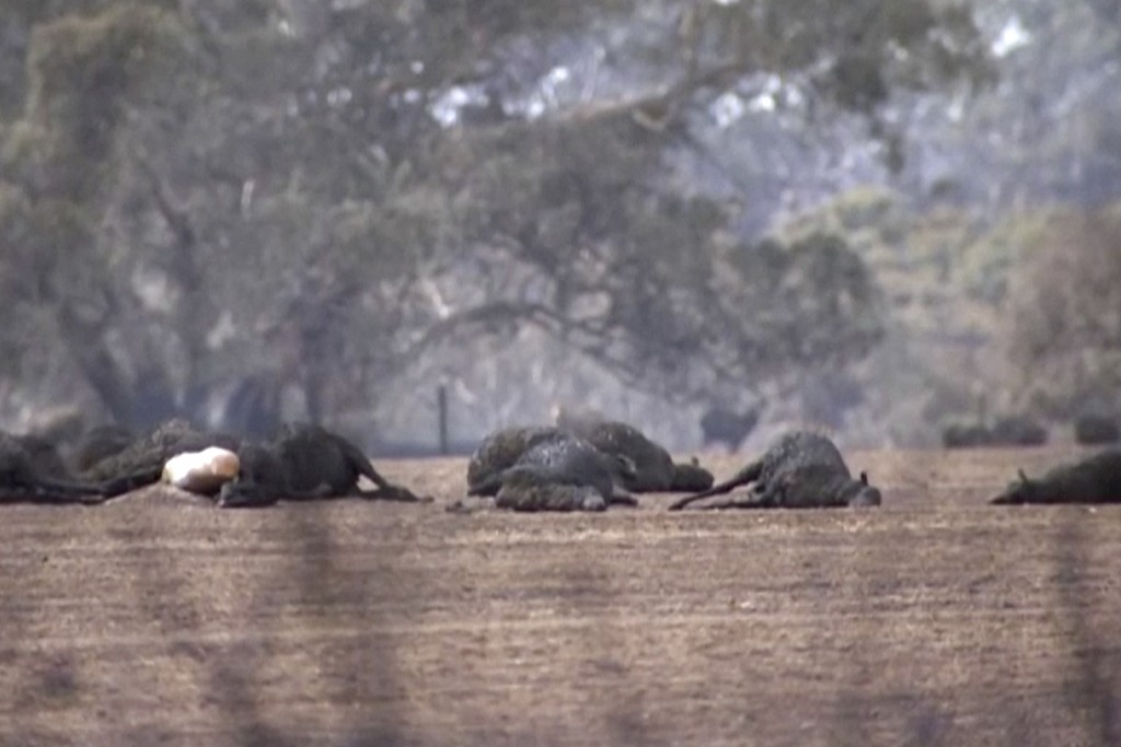 This image made from video shows dead kangaroos and sheep after wildfires hit the Kangaroo Island, South Australia Sunday, Jan. 5, 2020. Milder temper...