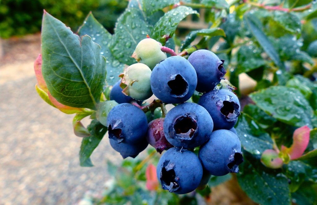 This June 15, 2015 photo shows a dwarf hybrid blueberry plant growing in a container on a residential sidewalk near Langley, Wash. Growers without a l...