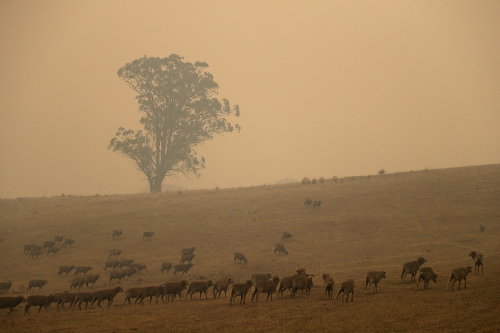 Sheep graze in a field shrouded with smoke haze near at Burragate, Australia, Saturday, Jan. 11, 2020. Wildfires continue to burn after warm dry weath...