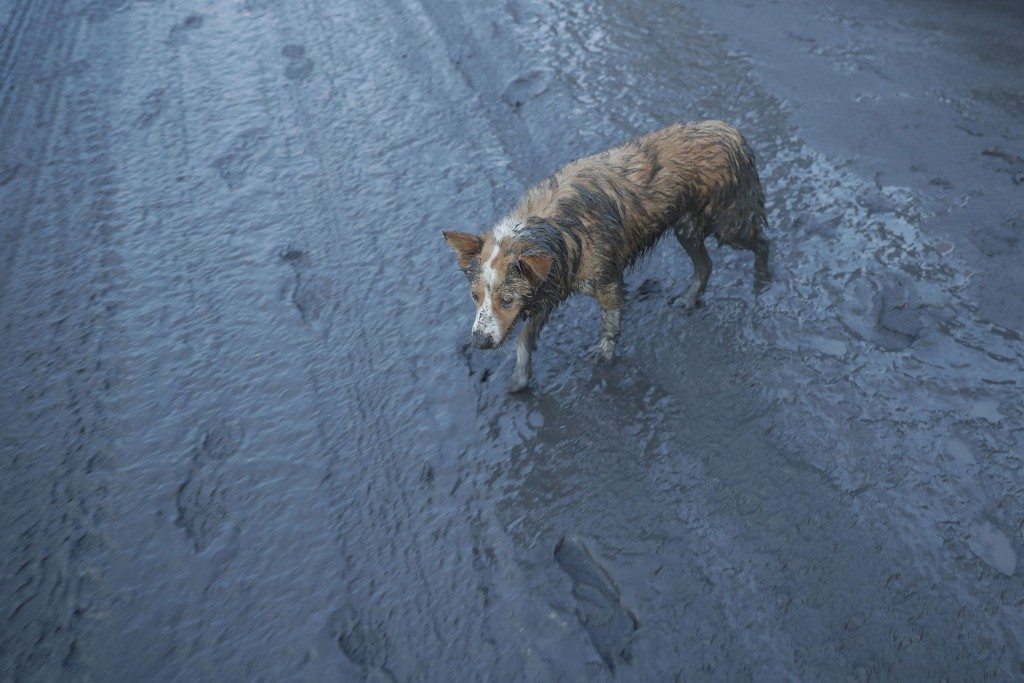 In this Jan. 13, 2020, photo, a dog walks along ash fall covered road as Taal Volcano continues to spew ash in Tagaytay, Cavite province, south of Man...