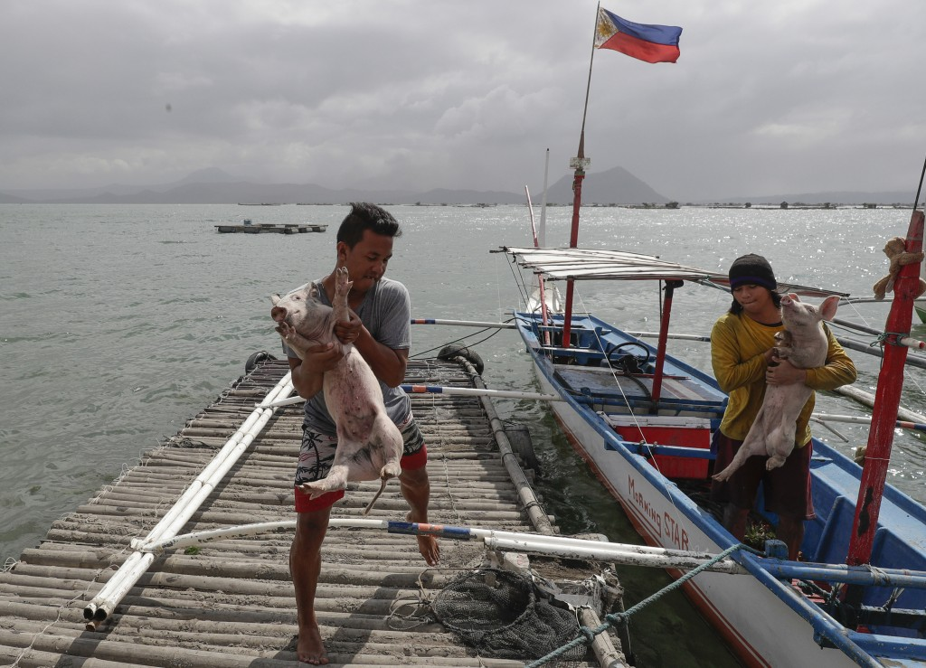 FILE - In this Jan. 14, 2020, file photo, men carry piglets which they rescued across the lake in Talisay, Batangas province, southern Philippines, as...