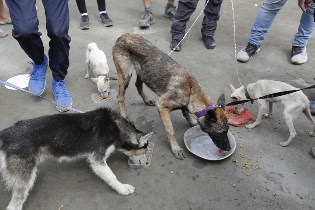 Dogs rescued from deserted homes are fed by volunteers at a village near Taal volcano where residents evacuated to safer grounds leaving some of their...