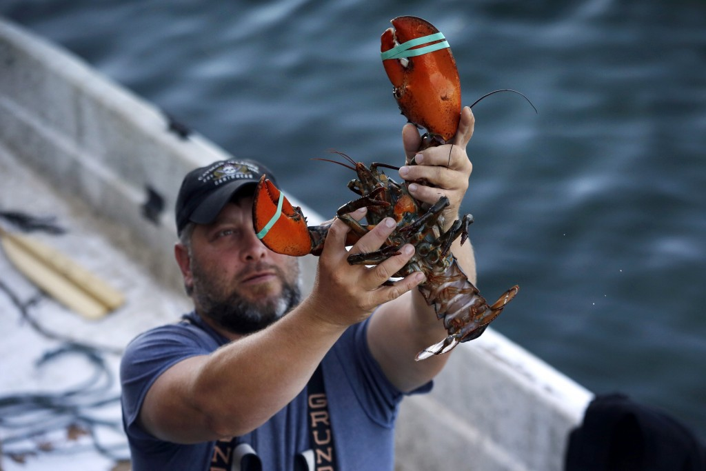 FILE - In this Aug. 24, 2019, file photo, a dealer at Cape Porpoise holds a 3 1/2 pound lobster in Kennebunkport, Maine. Members of the US lobster ind...