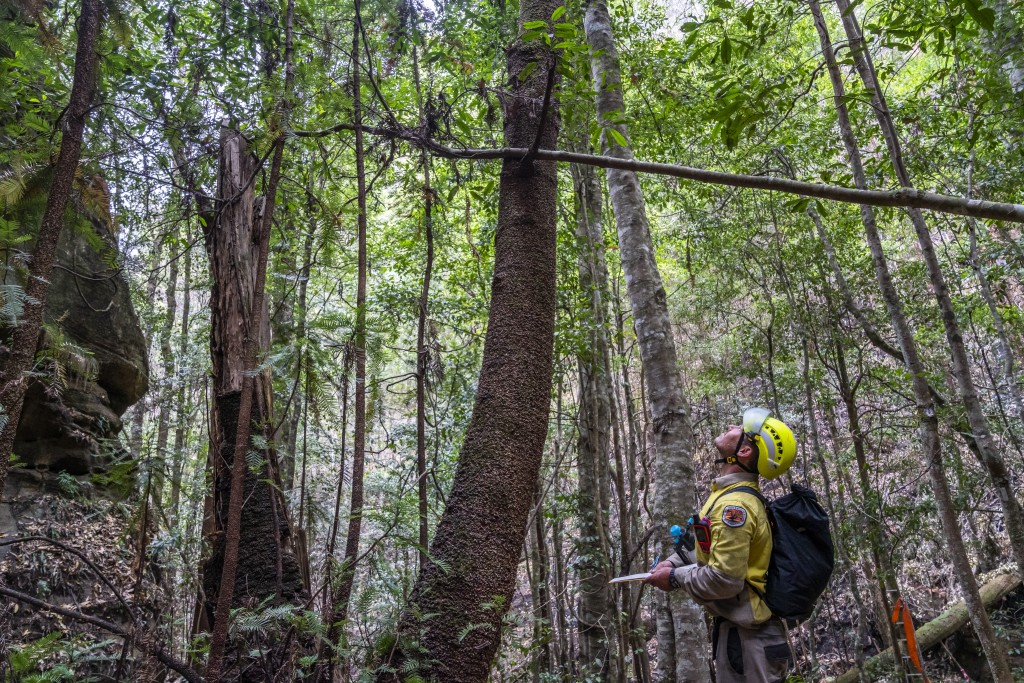 In this photo taken early Jan. 2020, and provided Thursday, Jan. 16, 2020, by the New South Wales National Parks and Wildlife Service, NSW National Pa...
