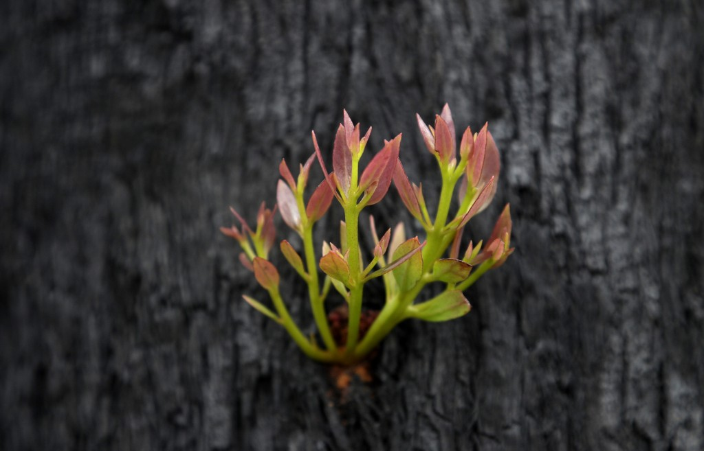 Leaves begin to sprout from the trunk of a blackened and burned tree near Nattai, Australia, Thursday, Jan. 16, 2020. The fires have claimed dozens of...