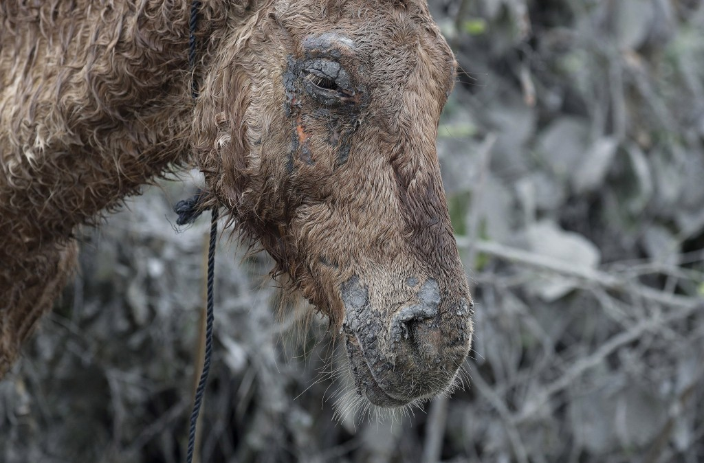 In this Friday, Jan. 17, 2020, photo, An injured horse that was rescued from the volcano island of Taal stays near the shore as it rests at Talisay, B...