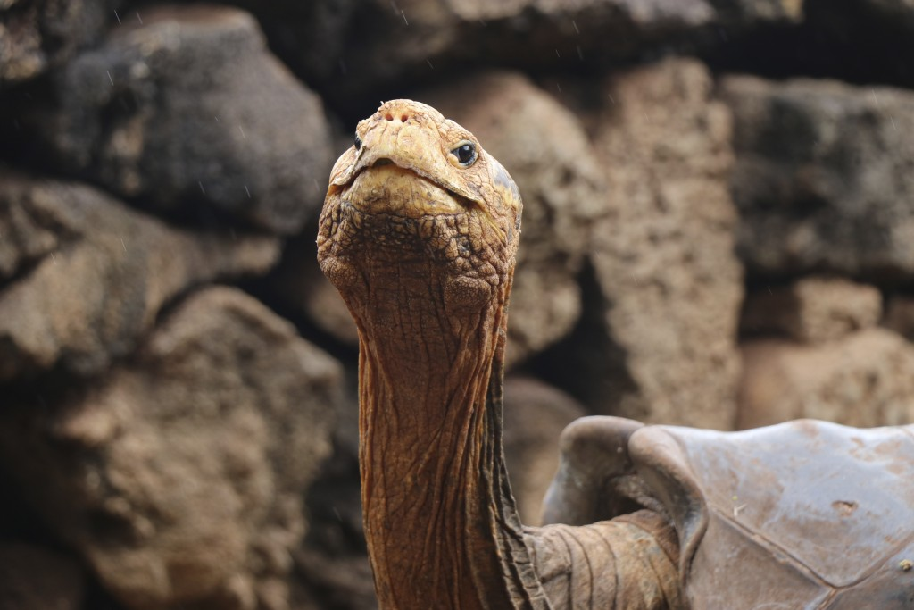 This Jan. 9, 2020 photo provided by Galapagos National Park shows Diego the tortoise on Santa Cruz Island, Galapagos, Ecuador. After fertilizing some ...