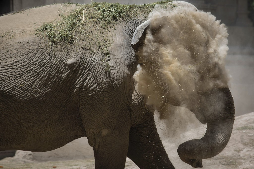In this Monday Jan. 13, 2020 photo, Asian elephant Mara dusts herself inside the former city zoo now known as Ecopark in Buenos Aires, Argentina. Mara...
