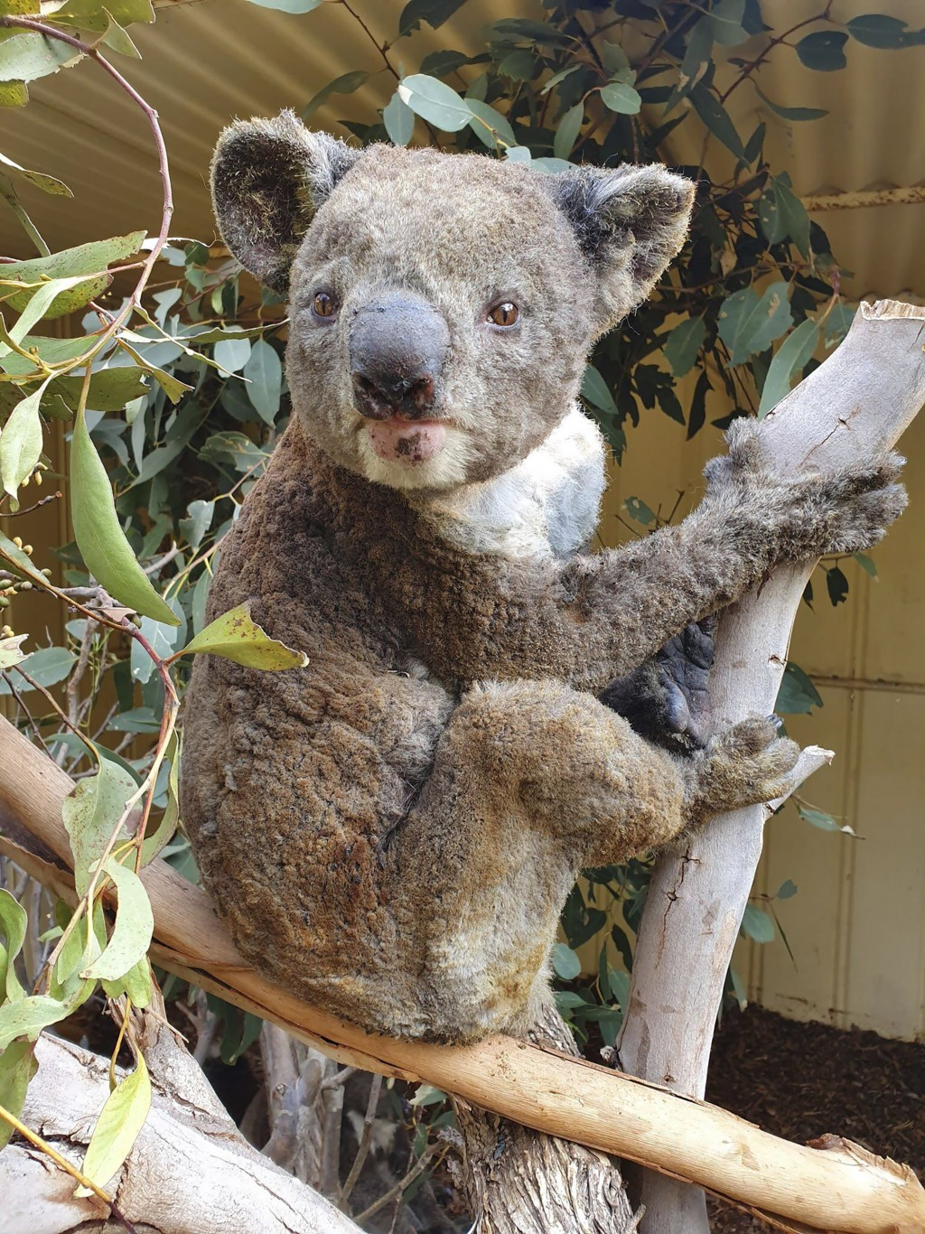 FILE - This early January 2020 photo provided by Dana Mitchell from the Kangaroo Island Wildlife Park shows a rescued koala injured in a bushfire in K...