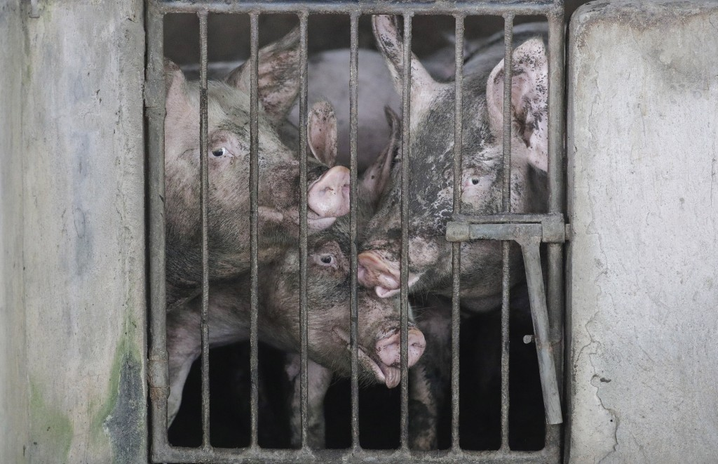 Pigs with faces covered in volcanic ash look out from their pen as they are left by their owners at a village beside Taal volcano where residents have...