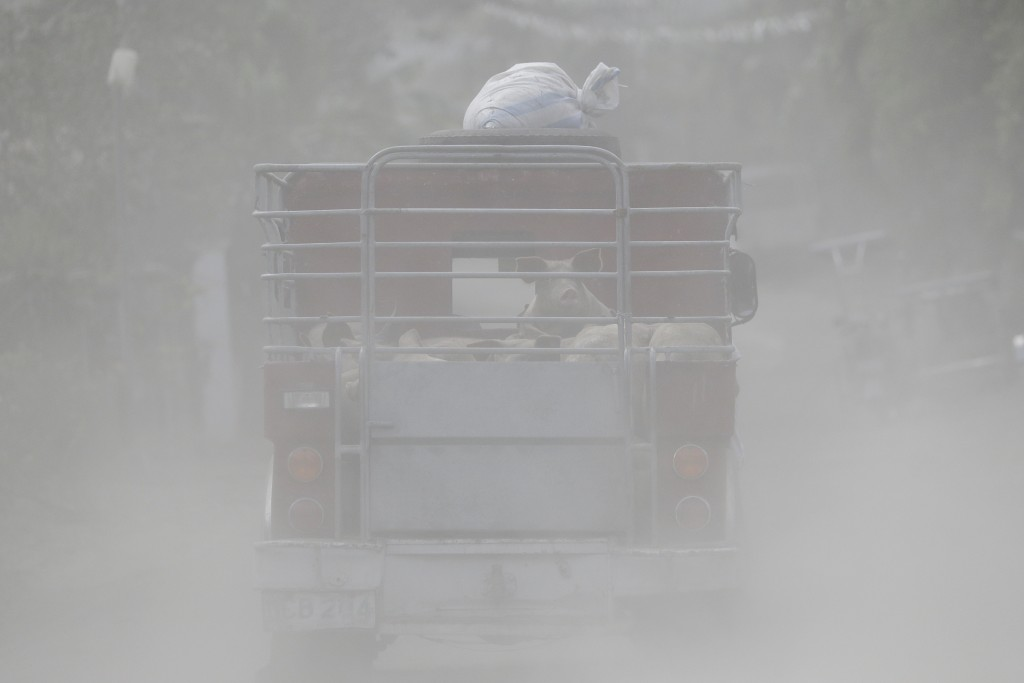 A jeepney transports pigs along a road covered with volcanic ash beside Taal volcano in Agoncillo, Batangas province, southern Philippines on Saturday...