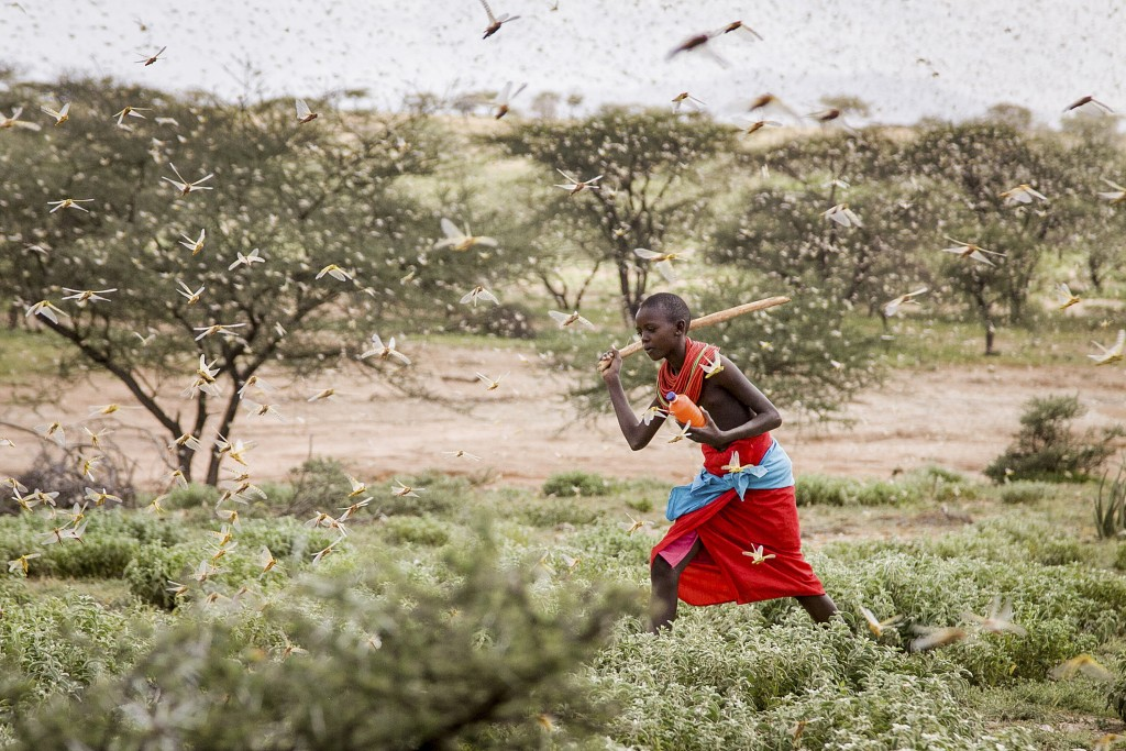 A Samburu boy uses a wooden stick to try to swat a swarm of desert locusts filling the air, as he herds his camel near the village of Sissia, in Sambu...