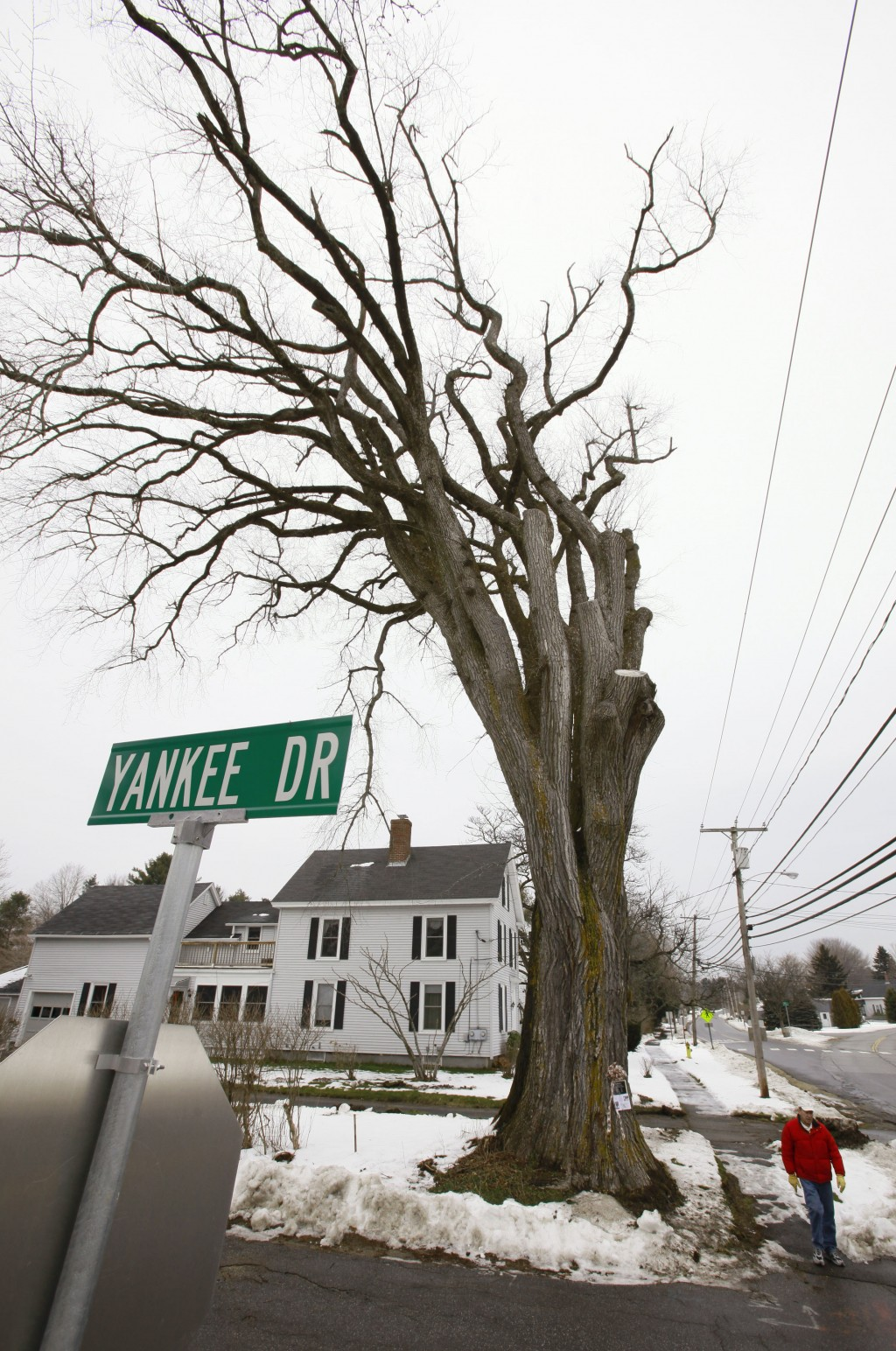 """FILE - In this Dec. 15, 2009 file photo, a pedestrian walks past a large elm tree known as """"Herbie"""" in Yarmouth, Maine. The tree, estimated to be 217 ..."""