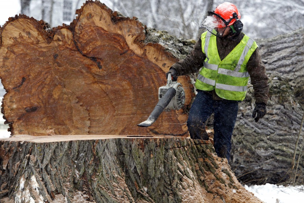 """FILE - In this Jan. 19, 2010 file photo, a worker removes saw dust from """"Herbie,"""" the tallest American elm in New England, after it was cut down in Ya..."""
