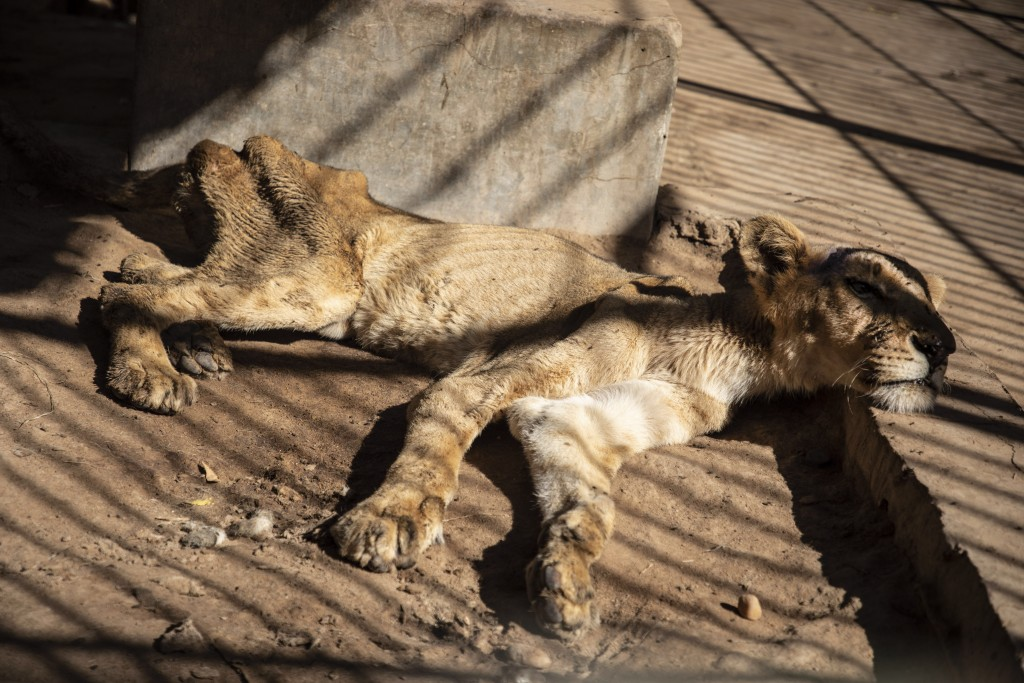 In this Tuesday, Jan. 21 photo, a malnourished lion rests in a zoo in Khartoum, Sudan. With the staff at the destitute Al-Qurashi Park, as the zoo in ...