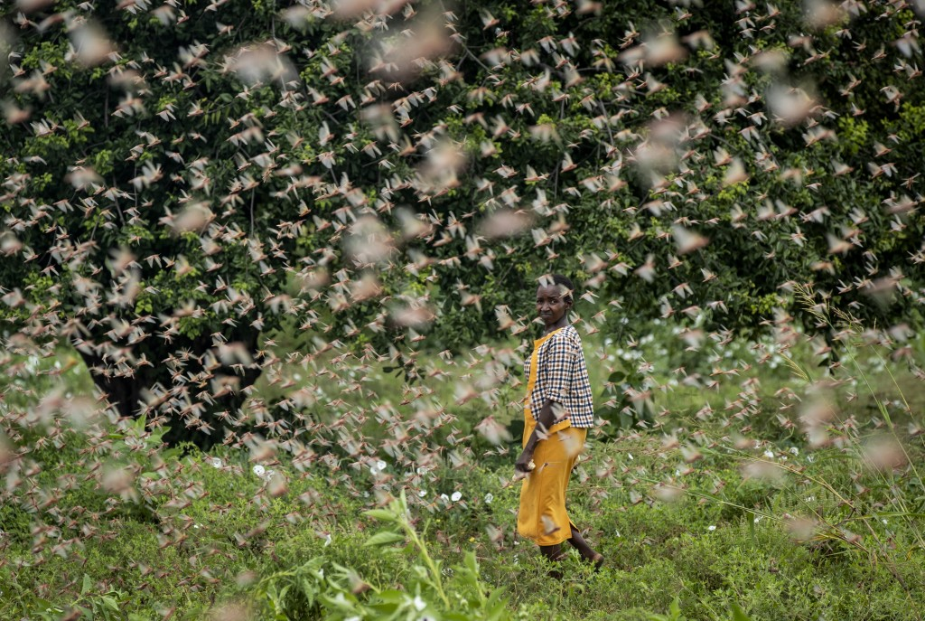 A farmer looks back as she walks through swarms of desert locusts feeding on her crops, in Katitika village, Kitui county, Kenya, Friday, Jan. 24, 202...