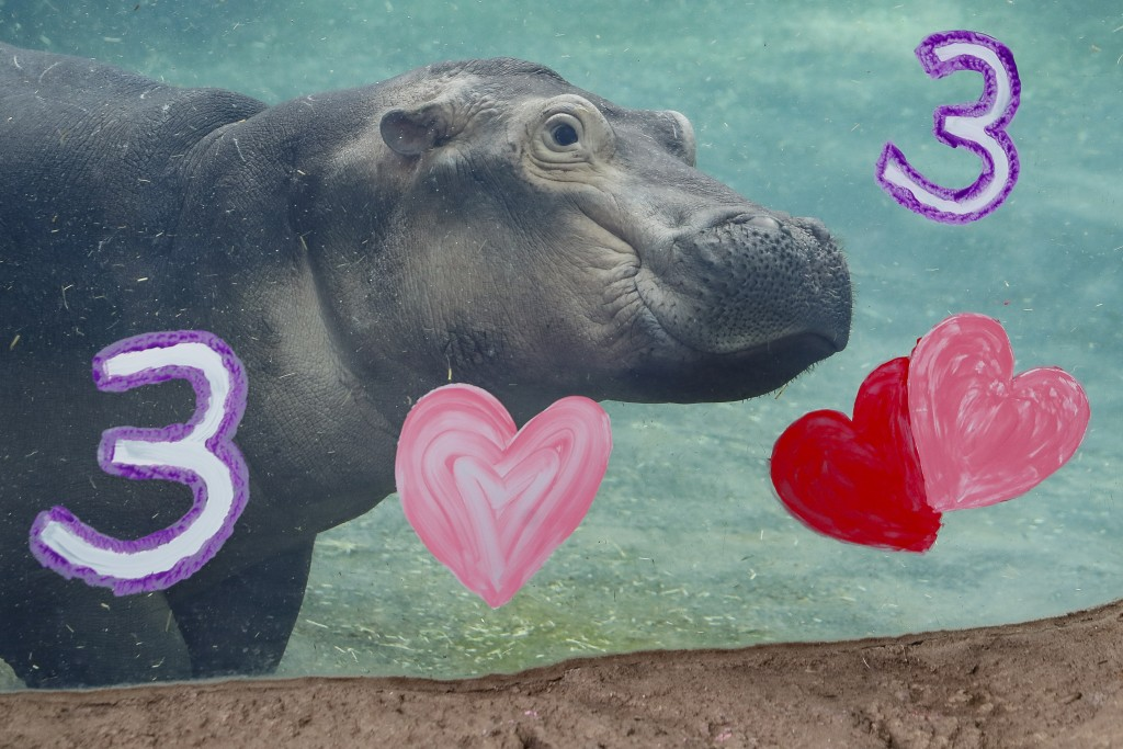 Fiona, a Nile Hippopotamus, swims after eating her specialty birthday cake to celebrate turning three-years old this Friday, in her enclosure at the C...