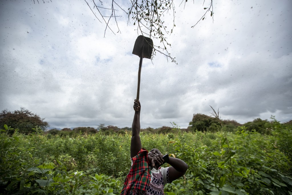 Farmer Kanini Ndunda reaches up with a shovel to shake tree branches to chase away swarms of desert locusts from her crops, in Katitika village, Kitui...