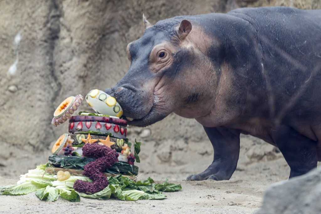 Fiona, a Nile Hippopotamus, eats her specialty birthday cake to celebrate turning three-years old this Friday, in her enclosure at the Cincinnati Zoo ...