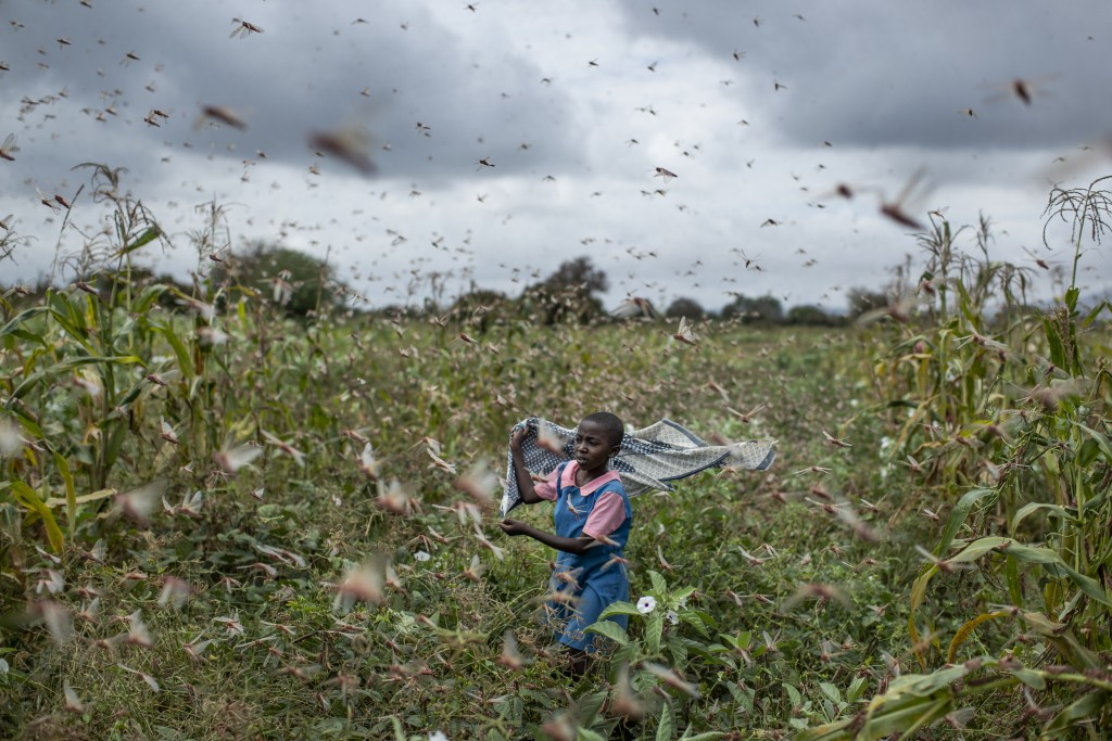 A farmer's daughter waves her shawl in the air to try to chase away swarms of desert locusts from her crops, in Katitika village, Kitui county, Kenya ...