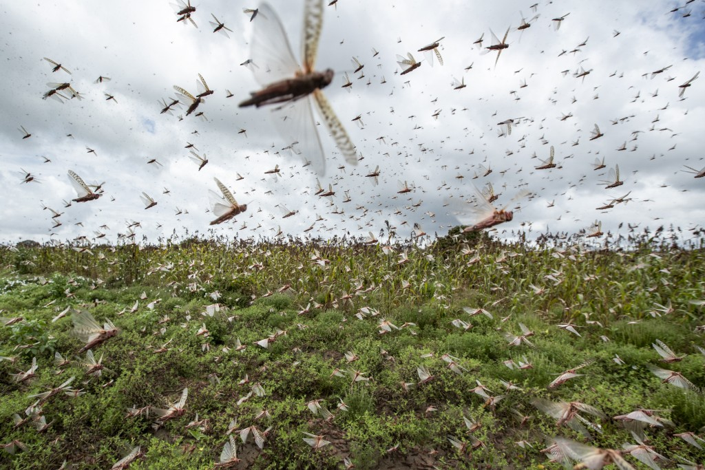 Swarms of desert locusts fly up into the air from crops in Katitika village, Kitui county, Kenya Friday, Jan. 24, 2020. Desert locusts have swarmed in...
