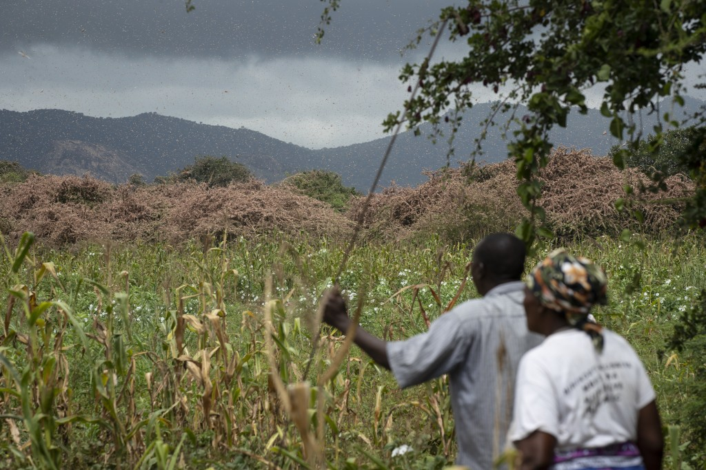 Farmers look across as swarms of pink desert locusts create a thick blanket covering trees on their farmland in Katitika village, Kitui county, Kenya ...