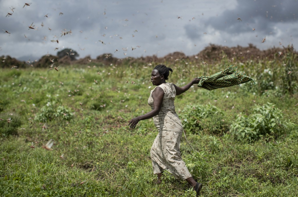 A farmer waves her shawl in the air to try to chase away swarms of desert locusts from her crops, in Katitika village, Kitui county, Kenya Friday, Jan...