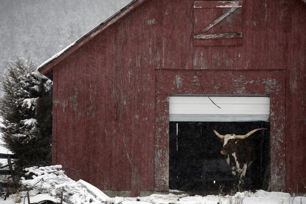 A steer looks out from inside a barn Jan. 24, 2020, in Winterset, Iowa. (AP Photo/Marcio Jose Sanchez)