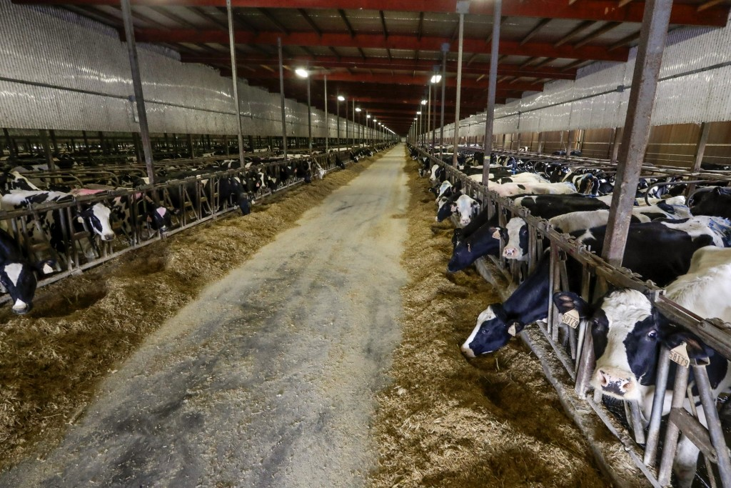 In this Dec. 4, 2019, photo cows stand in a barn at Rosendale Dairy in Pickett, Wis. At Rosendale Dairy, each of the 9,000 cows has a microchip implan...