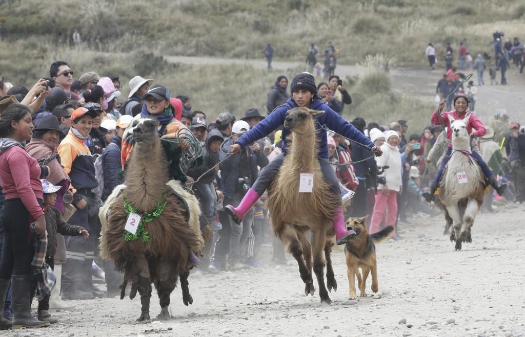 Riders race their llamas at the Llanganates National Park, Ecuador, Saturday, Feb. 8, 2020. Wooly llamas, an animal emblematic of the Andean mountains...