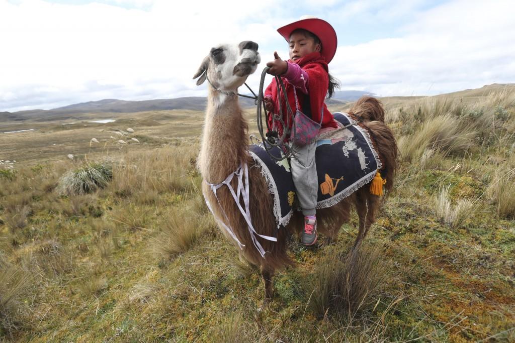 A girl waits on her llama for the start of a race at the Llanganates National Park, Ecuador, Saturday, Feb. 8, 2020. Wooly llamas, an animal emblemati...