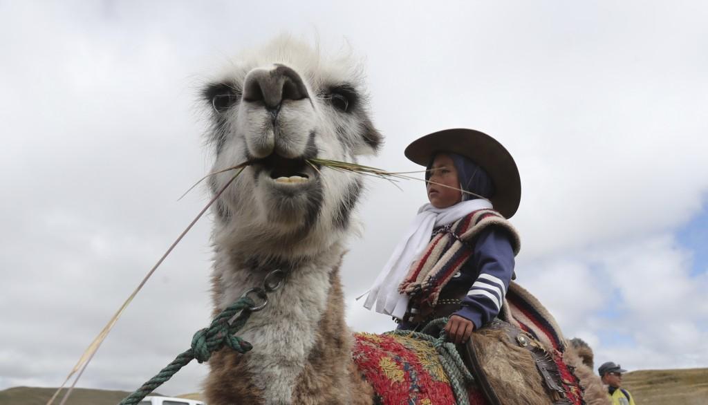 A child sits on a llama before racing it in Los Llanganates, National Park, Ecuador, Saturday, Feb. 8, 2020. Wooly llamas, an animal emblematic of the...