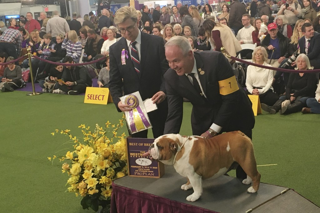 Thor the bulldog poses with handler Eduardo Paris after winning best of breed at the 144th Westminster Kennel Club dog show, Monday, Feb. 10, 2020, in...