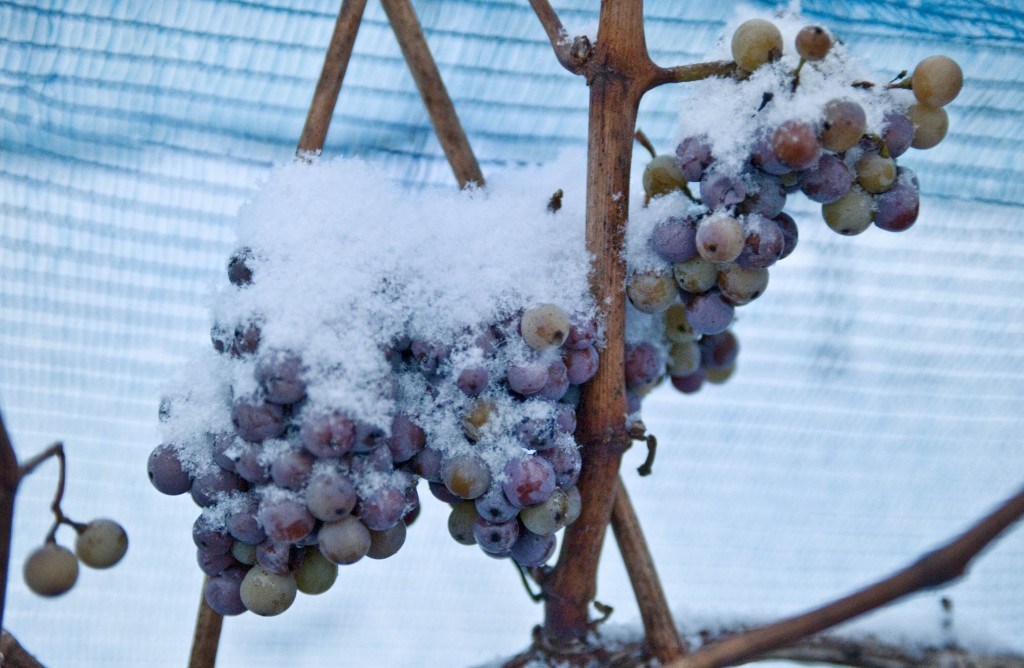FILE-In this Dec. 18, 2009 file photo snow covered grapes hang in a vineyard near Freyburg, Germany. A warm winter means that for the first time Germa...