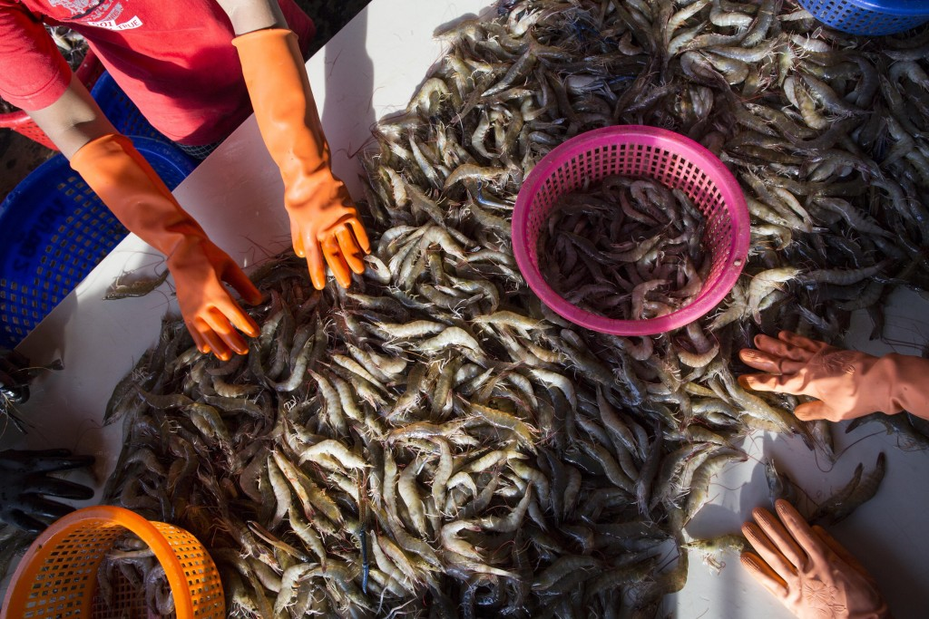 FILE- In this Wednesday, Sept. 30, 2015, file photo, female workers sort shrimp at a seafood market in Mahachai, Thailand. A report issued Tuesday by ...