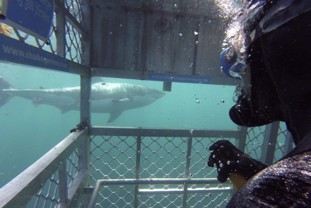 In this Jan 14, 2020, photo, Al Noor mosque shooting survivor Temel Atacocugu photographs a great white shark as it swims past a fellow diver during a...