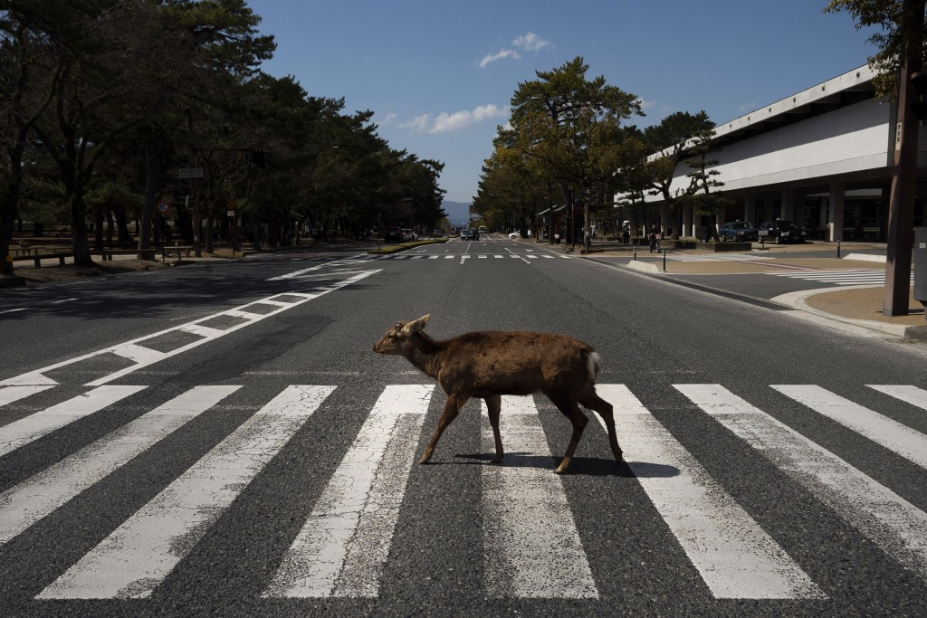 A deer walks across a pedestrian crossing in Nara, Japan, Thursday, March 19, 2020. More than 1,000 deer roam free in the ancient capital city of Japa...